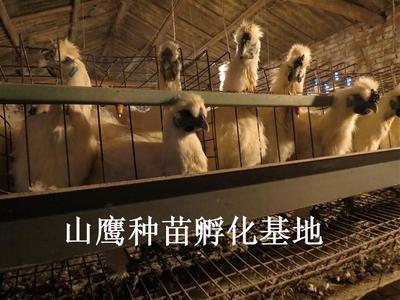这是一张关于竹丝鸡苗 鸡苗的产品图片