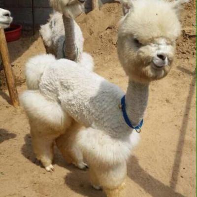 山东济宁澳洲羊驼