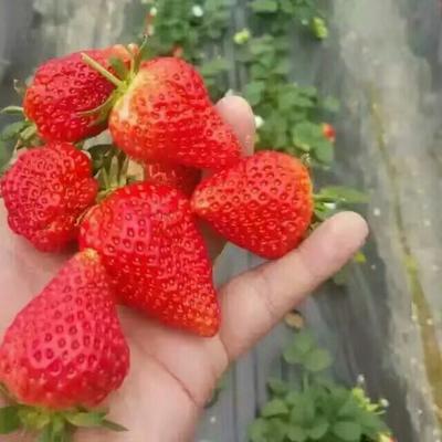 这是一张关于全明星草莓苗 10~20公分 地栽苗的产品图片