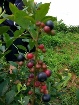 广西柳州蓝丰蓝莓 2 - 4mm以上