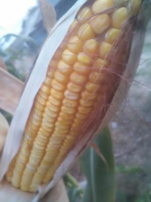 湖北宜昌玉米干粮 杂质很少 水份14%-16% 霉变≤1%