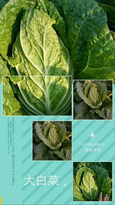 这是一张关于黄心大白菜 6~10斤 毛菜的产品图片