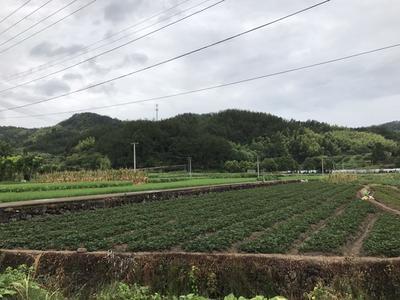 这是一张关于红颜草莓苗 10~20公分 地栽苗的产品图片