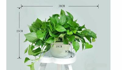 广东广州花都区绿萝吊兰 30~50cm 180白色盆