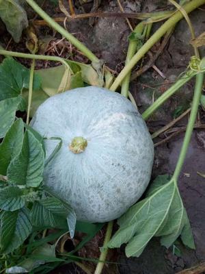 新疆维吾尔自治区塔城地区乌苏市板栗南瓜 2~4斤 扁圆形