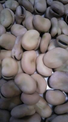 甘肃定西大白蚕豆
