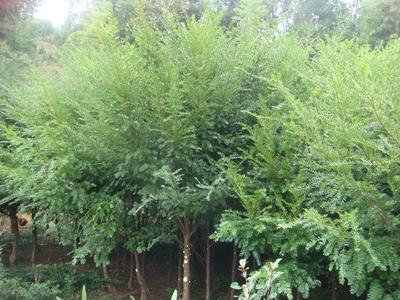 湖南株洲南方红豆杉 1~1.5米