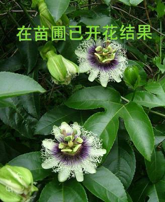 紫香百香果苗  带杯发货当年结果包邮