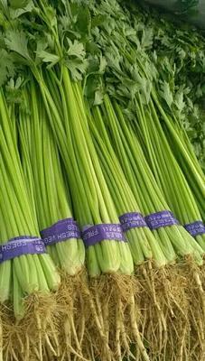天津越冬菠菜 25~30cm