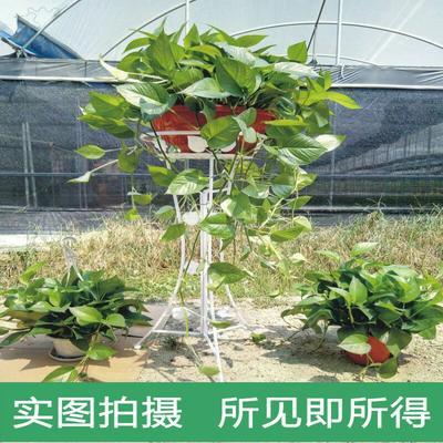广东广州花都区绿萝吊兰 70~90cm 360型号大绿萝