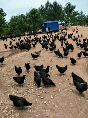 安徽安庆黑羽乌鸡 2-3斤
