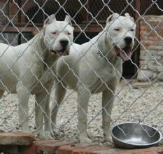 这是一张关于杜高犬 活体幼犬阿根廷动物种苗大型犬的产品图片