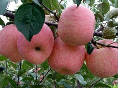 这是一张关于红富士苹果 纸袋 条红 75mm以上 山东苹果批发 哪里红富士苹果价格便宜的产品图片
