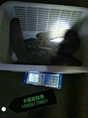 湖北十堰中国大鲵 5斤以下