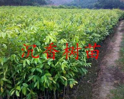 广西钦州白木香