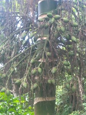 海南海口槟榔