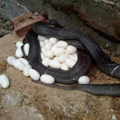 广西贵港眼镜蛇 食用
