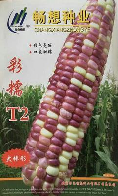 北京玉米种子 种子