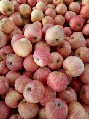 山东日照红富士苹果 纸袋 表光 80mm以上 苹果 红富士苹果
