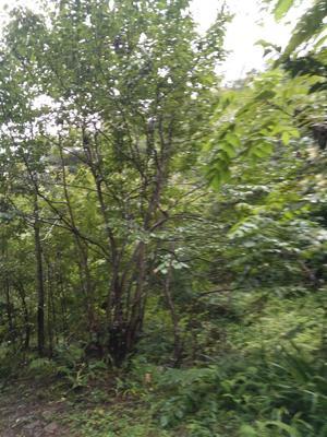 四川巴中造型景观树