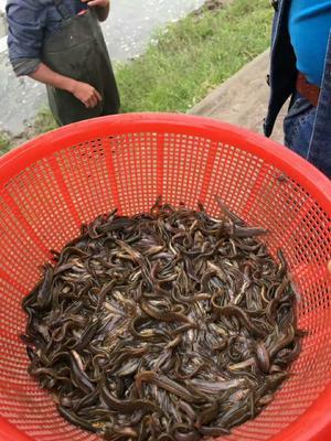 黑龙江哈尔滨野生泥鳅苗