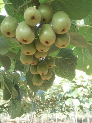 山东泰安岱岳区红阳猕猴桃苗 嫁接苗 优质红阳猕猴桃