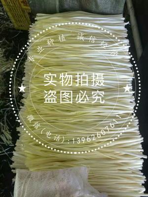 江苏苏州大叶韭黄 头茬 40~50cm