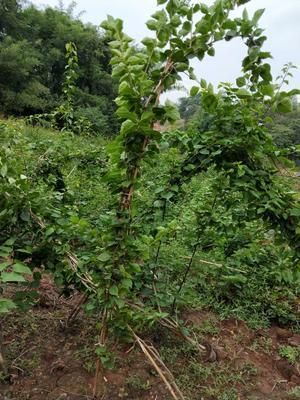 四川宜宾大红三角梅 3~4米