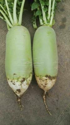 陕西渭南青皮绿萝卜 2~2.5斤