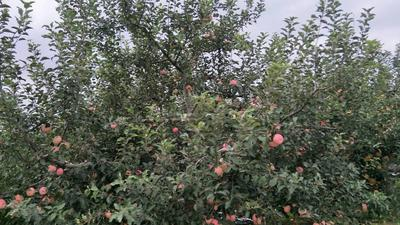 这是一张关于新红星苹果 75mm以上 片红 膜袋的产品图片