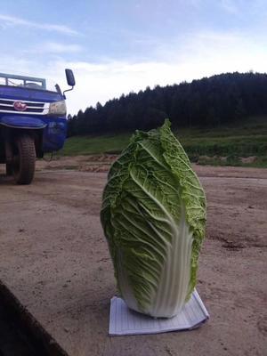 河北省张家口市蔚县金峰白菜 3~6斤 毛菜