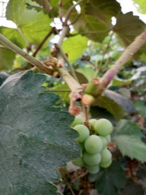 山东临沂夏黑葡萄 10%以上 2次果 2斤以上