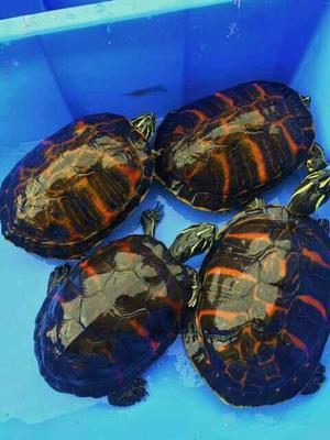 广东湛江火焰龟 10-20cm 2-4斤