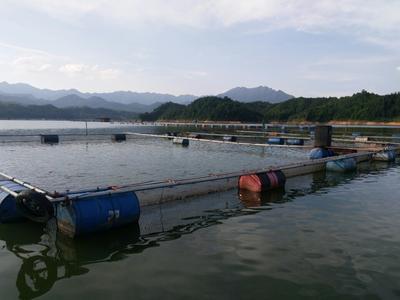 湖南郴州网箱草鱼 人工养殖 0.5-3公斤