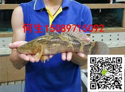 广东佛山笋壳鱼 人工养殖 1-1.5龙8国际官网官方网站 2两至3斤各个规格