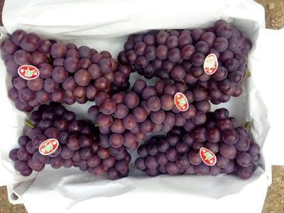 辽宁锦州巨峰葡萄 5%以下 1次果 1.5- 2斤