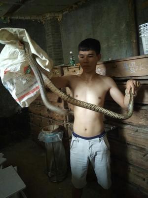 广东佛山大王蛇 食用