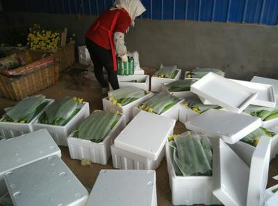 山东潍坊鲜花丝瓜 40cm以上