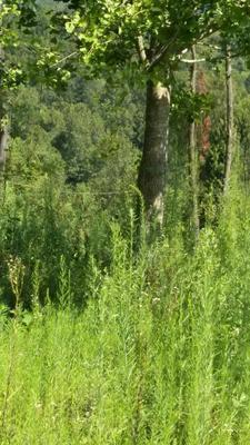 四川达州银杏实生树