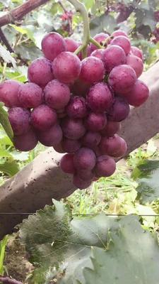 这是一张关于巨峰葡萄 0.8 - 1斤 5%以下的产品图片