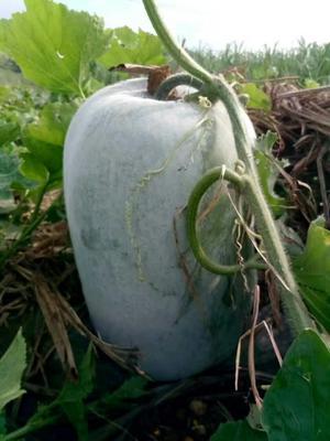 广西柳州白皮冬瓜 15斤以上 白霜 白皮供应