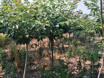 山东泰安中国红樱 1~1.5米 4~6公分