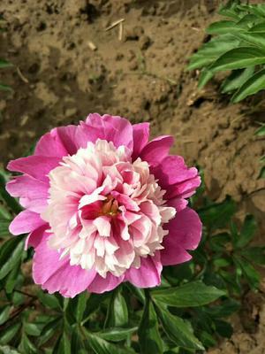 山东菏泽牡丹区多花芍药 0.5米以下 2~4cm