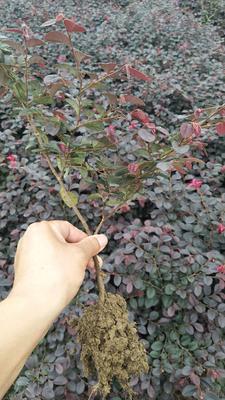 河南信阳双面红 红花继木