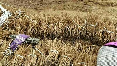 山东菏泽油用牡丹种苗 0.5米以下 2cm以下 4cm以下