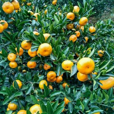 江西抚州南丰蜜桔 3.5 - 4cm 1两以下