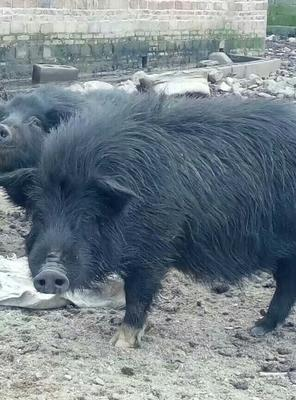 湖南永州藏香猪 40-60斤