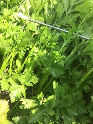 黑龙江省齐齐哈尔市拜泉县毛芹 55~60cm 露天种植 0.5~1.0斤