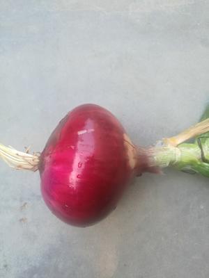 陕西榆林红皮洋葱 5~8cm 3.5~4两 紫皮