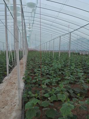 山东临沂德瑞特721黄瓜 22~25cm 鲜花带刺